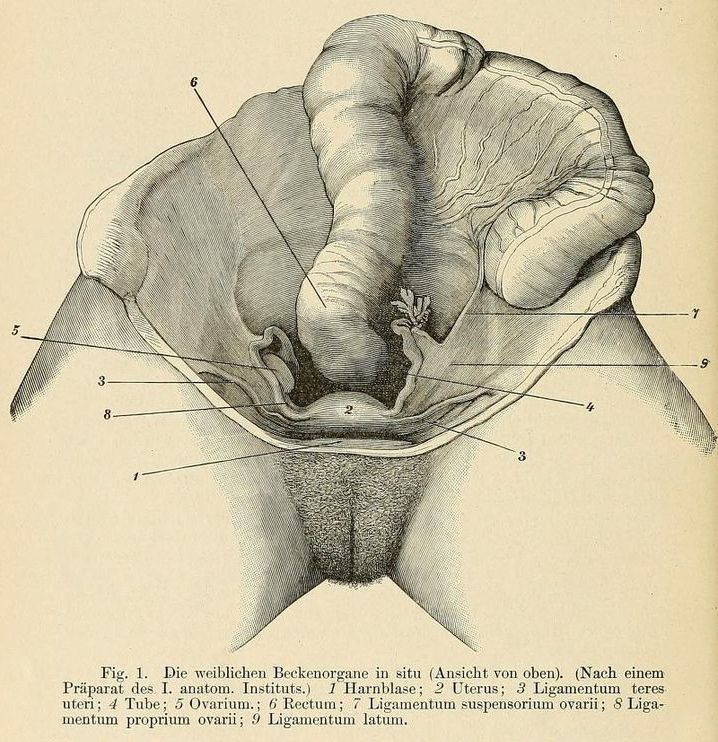 Fig. 1. Female pelvic organs in situ (top view). Handbuch der ...