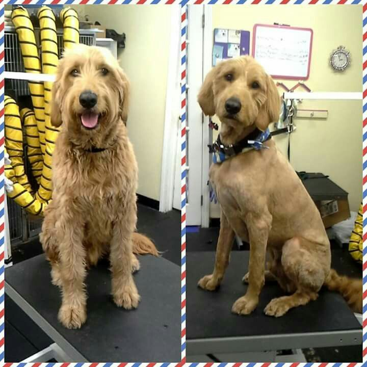 Goldendoodle Shave Www Pawplay4dogs Com Professional Grooming By Melissa Benham Pinterest