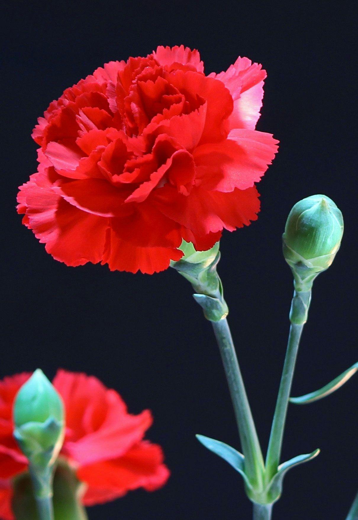 How To Arrange Carnations Like A Florist Blooms Today Carnations Flowers Flower Arrangements