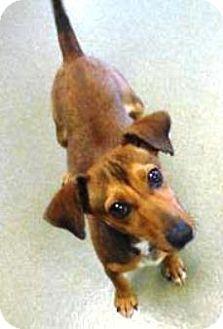 Harrisonburg Va Dachshund Jack Russell Terrier Mix Meet Jada A