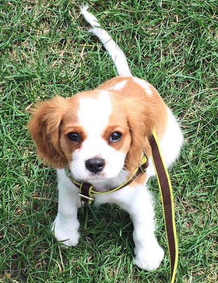 Winston the Cavalier King Charles Spaniel Pictures 1041462