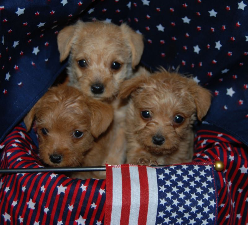Pinny Poo Pups Far Left Is Our Ginger She Has Been Such A Great