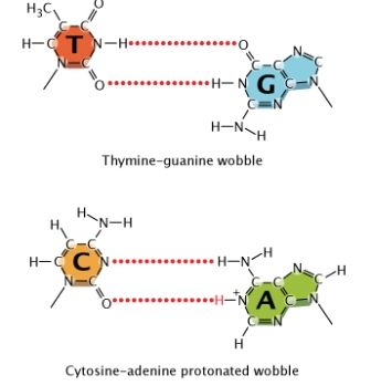 A schematic diagram shows two nucleotide base pairs with a wobble a schematic diagram shows two nucleotide base pairs with a wobble at top the chemical structure of the base thymine red is connected to the chemical ccuart Choice Image