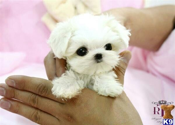 Pin By Grace English On Cute Clean Things Anything Maltese Puppy Micro Maltese Teacup Maltese