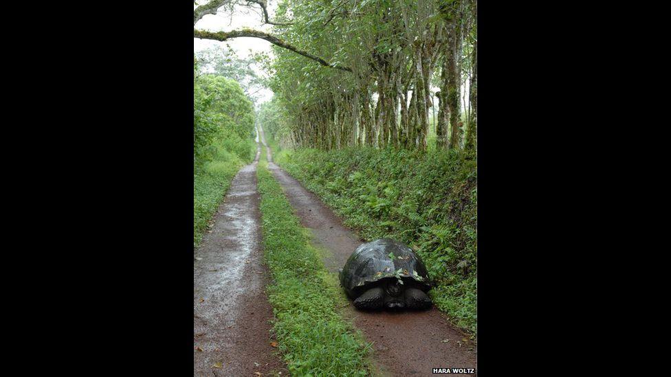 Tartaruga-das-galápagos andando em uma estrada feita por humanos na ilha de Santa Cruz (Foto: Hara Woltz).
