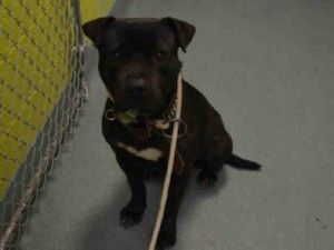 Brooklyn Center GRAVELER – A1066839  MALE, BLACK / WHITE, AMERICAN STAFF MIX, 2 yrs STRAY – STRAY WAIT, NO HOLD Reason STRAY Intake condition EXAM REQ Intake Date 03/06/2016, From NY 11434, DueOut Date 03/09/2016, Urgent Pets on Death Row, Inc