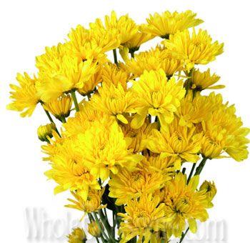 Buy Wholesale Yellow Cushion Pom Chrysanthemum Flower Yellow Wedding Flowers Yellow Flowers Fall Wedding Colors