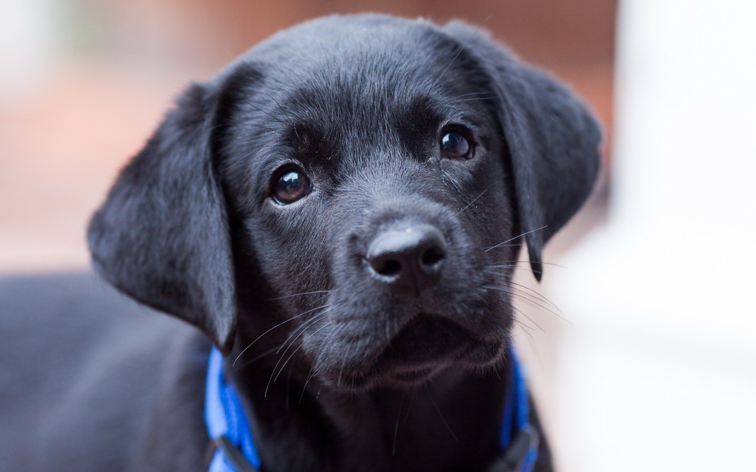 Labrador Bambini ~ More wuvely cute animals @ http: wuvely.com small pets welcome to