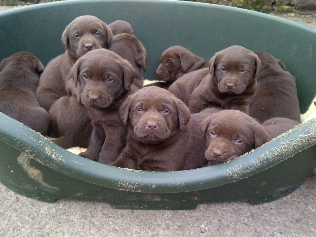Chocolate Lab Wallpaper 1280x960 58211 Labrador Retriever Labrador Puppy Labrador Puppy Chocolate