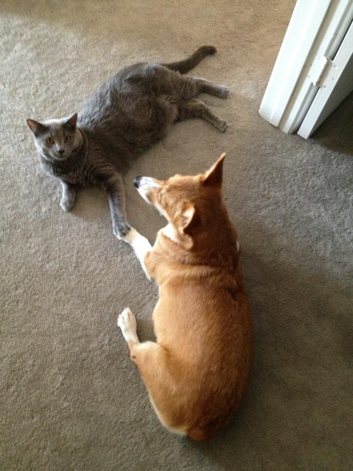 """""""Caught my corgi and cat holding hands."""" Love it."""
