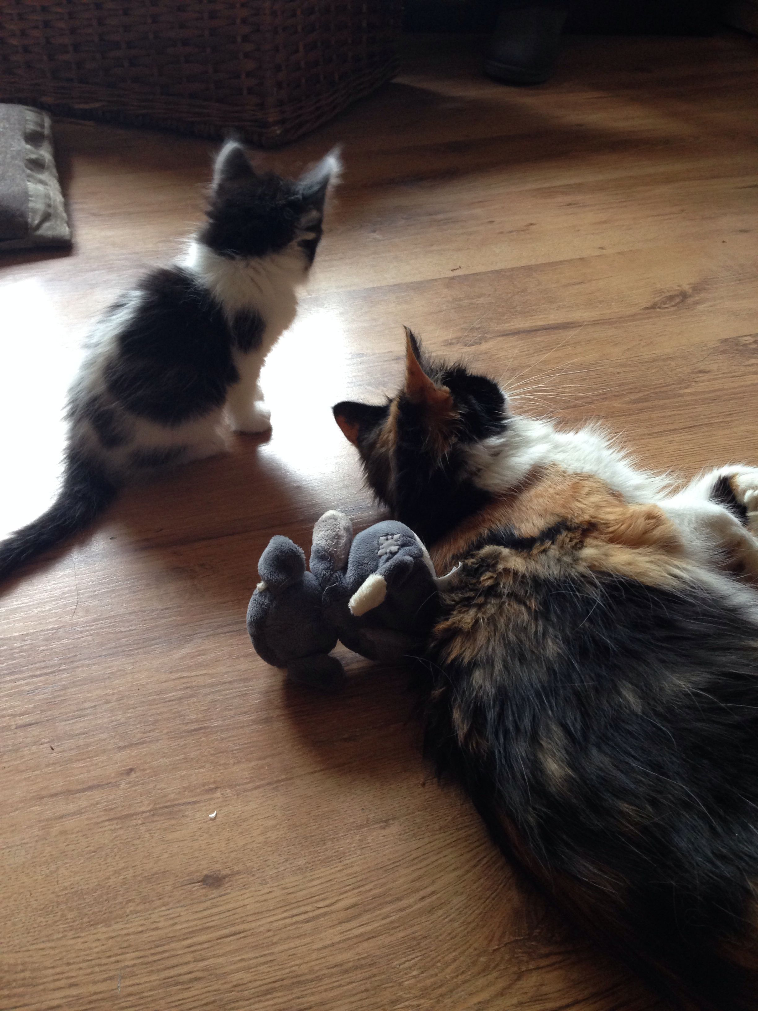 Our Norwegian Forest Cat Kitten Frankie 8 Weeks Sharing A Few Moments With His Mum Phoebe Norwegian Forest Cat Cats And Kittens Cat Photo