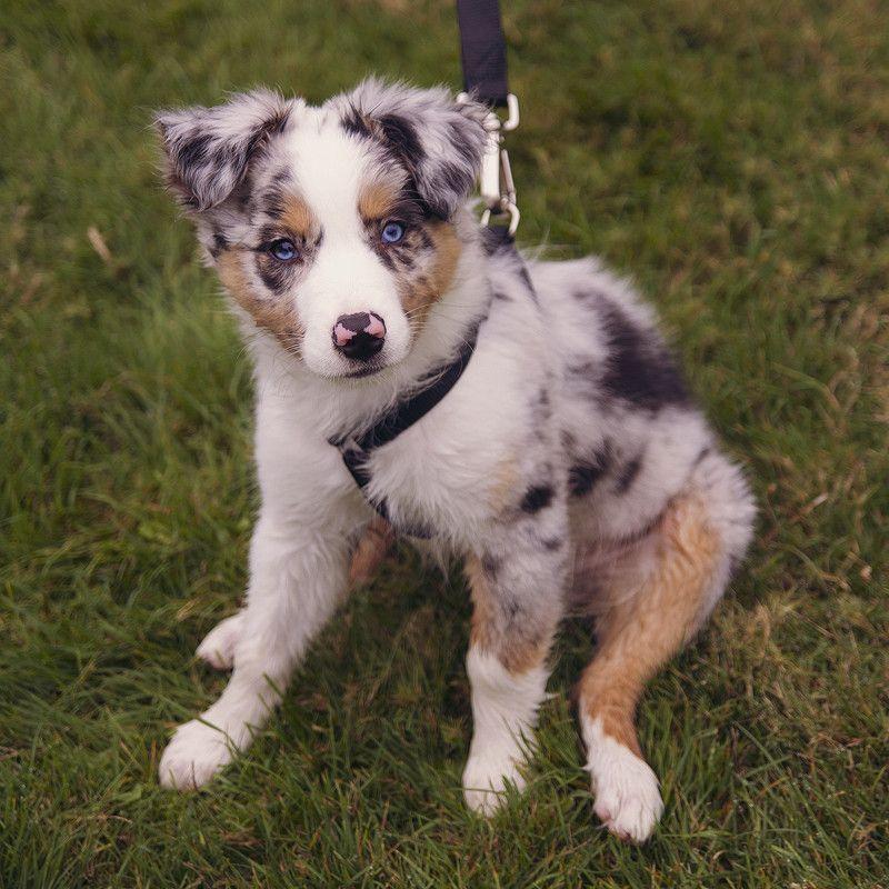 australian shepherd...looks like Dixie! : (