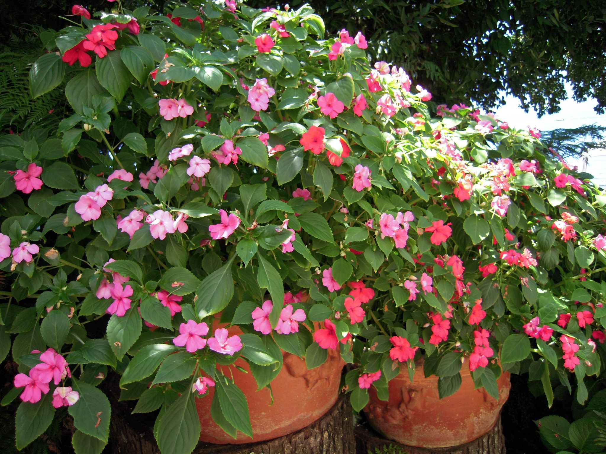 Alegr as del hogar alegrias pinterest alegria hogar y hermosa - Planta alegria del hogar ...