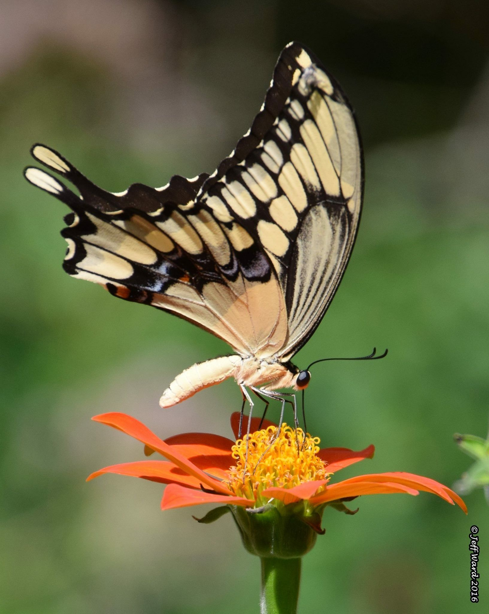 Giant Swallowtail (Papilio cresphontes) Golden Flower of the Aztecs ...
