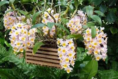 Bunga Tercantik Di Dunia Dendrobium Farmeri Kroton Menanam Bunga Anggrek Bunga