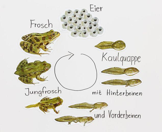 Magnetischer Lebenszyklus Frosch Frosch Lebenszyklus Kaulquappen