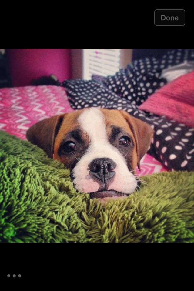 Miss Chloe adopted from Blue Ridge Boxer Rescue of NC