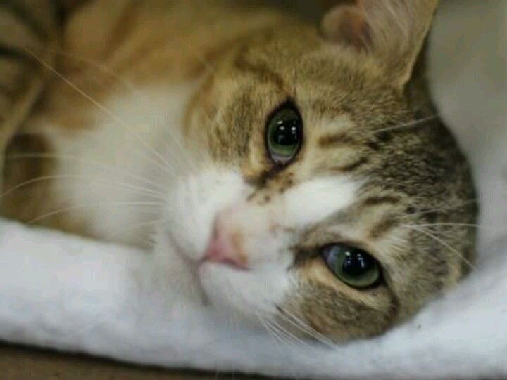 Alex is a beautiful brown & white male cat, 3 years old