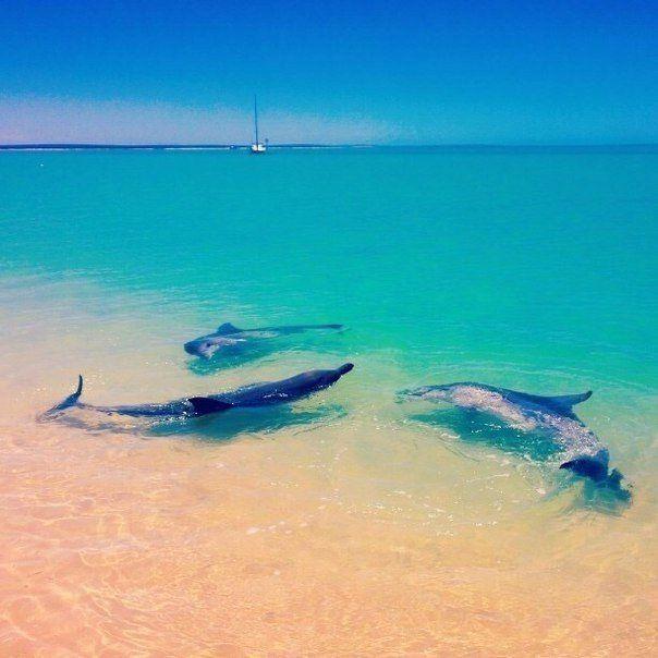 لست فى حاجة أن تذهب لترى عروض الدلافين إذ كنت بالقرب من خليج القرش فى أستراليا فعلى شاطئ Monkey Mia غرب أستراليا تقترب الدلافين لتشارك رو Outdoor Waves Water