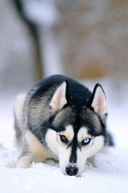 Siberian Husky Animals Cute Puppies Cute Animals