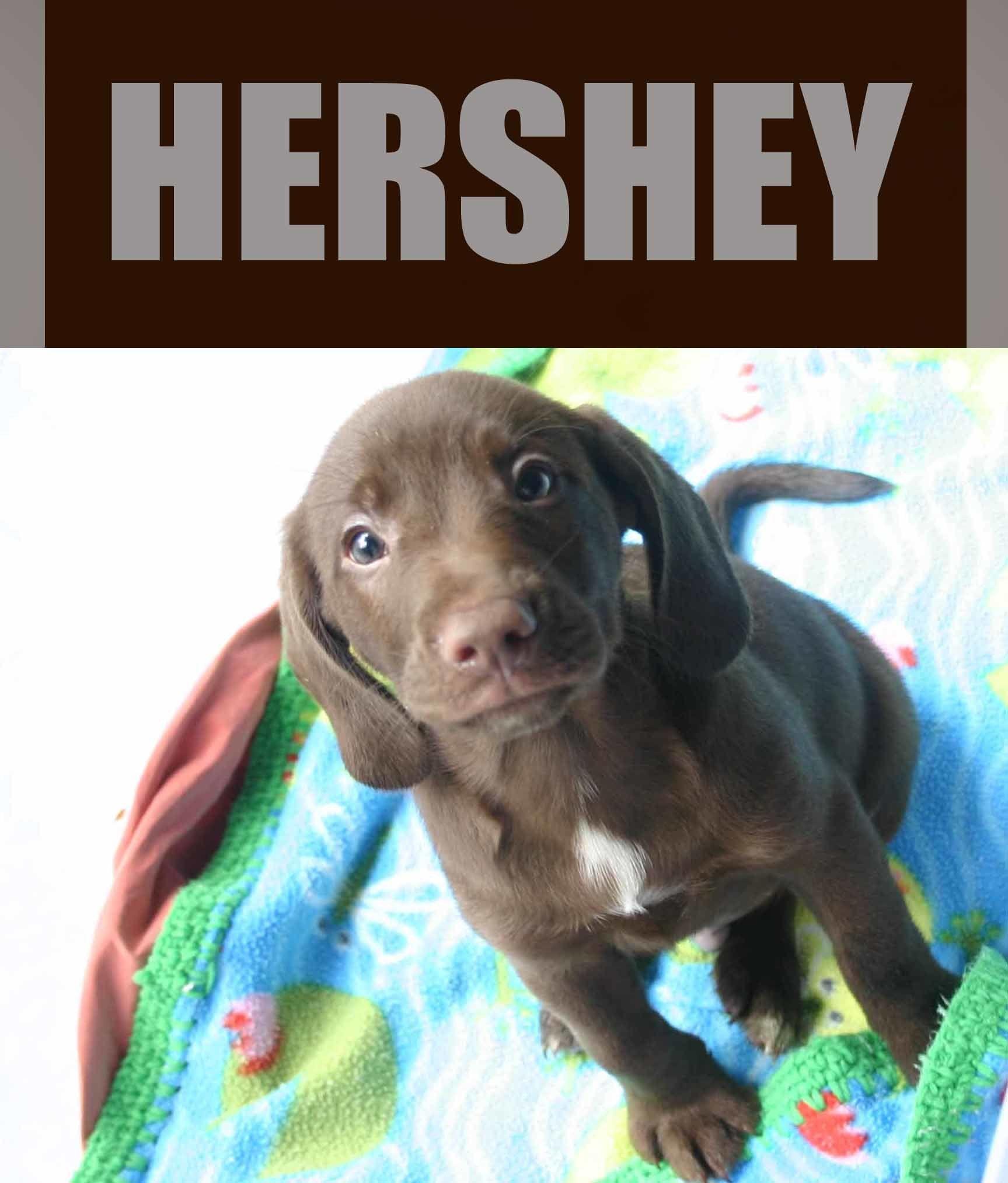 Adopt Hershey On Labrador Retriever Chocolate Labrador Retriever Labrador