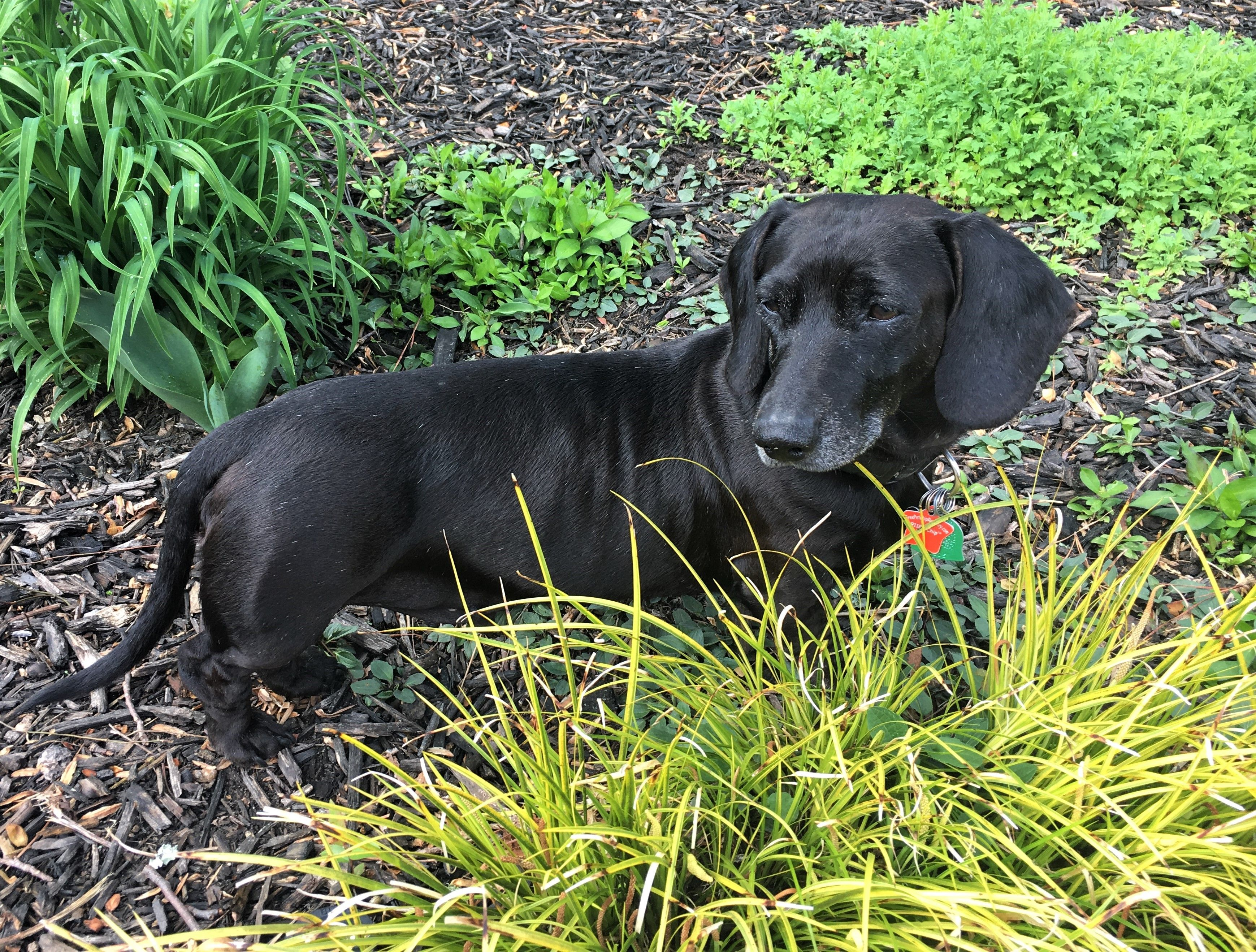 Meet Eddie In Ga An Adoptable Pet Dog Dachshund Rescue