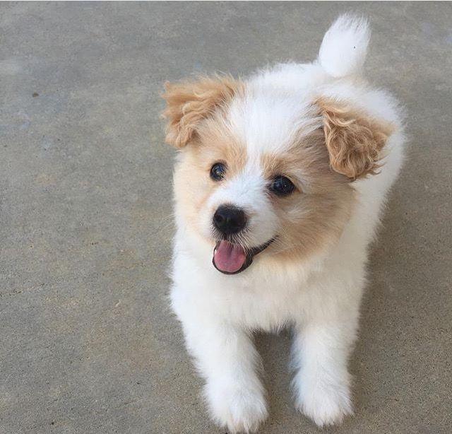 Pomapoo Pomeranian/miniature poodle mix. … | Pinteres…