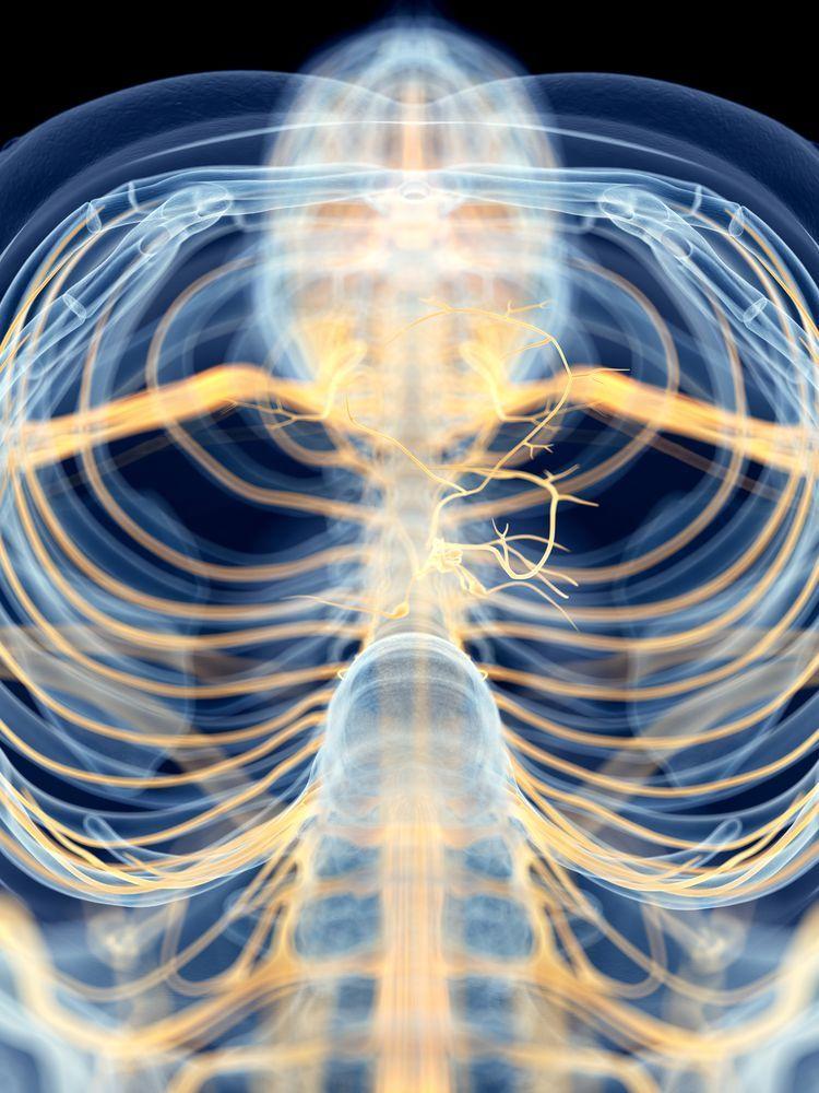 How the Autonomic Nervous System Works Vagus nerve
