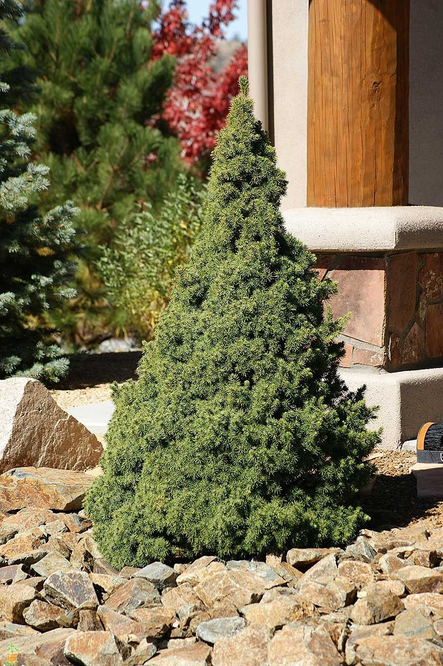 Dwarf alberta spruce tree with boulders garden for Best dwarf trees for landscaping