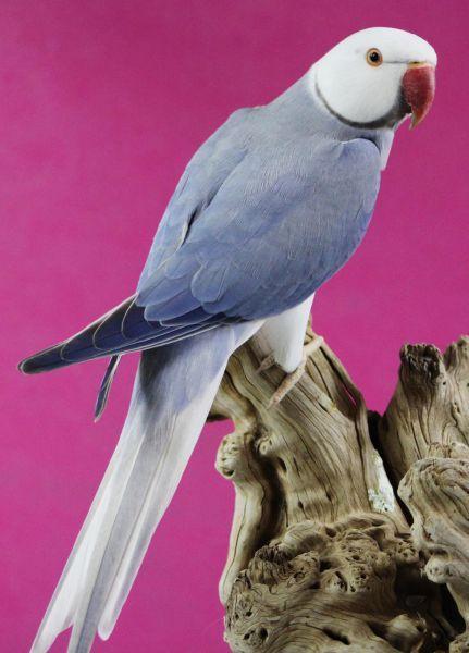 Indian Ringneck Albino Blue Mutation Papağanlar Papağan