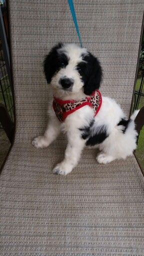 Border Collie X Poodle Aka Bordoodle Dog Crossbreeds I Love
