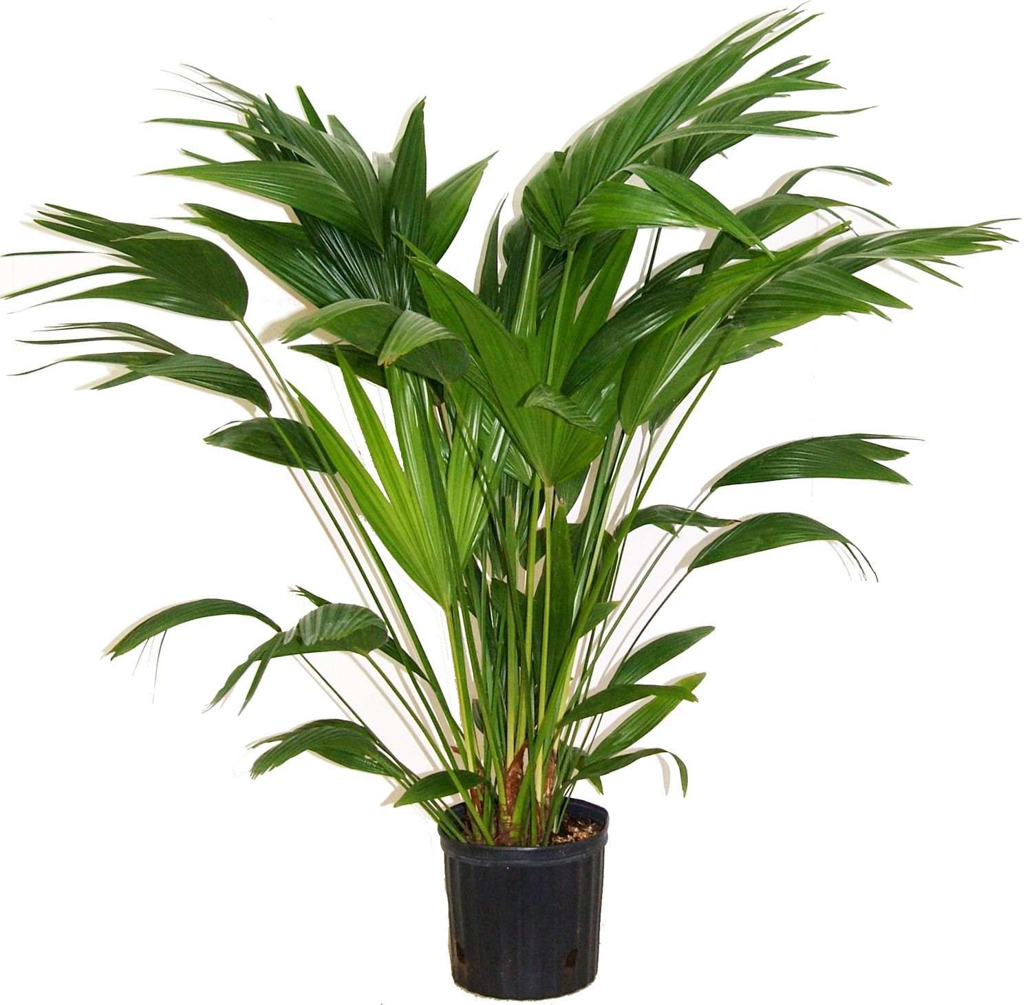 Livistona Chinensis [Chinese Fan Palm]
