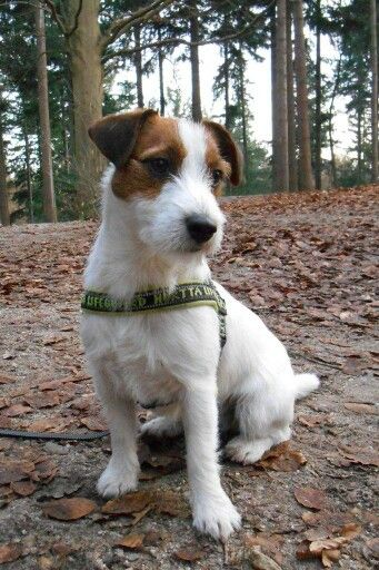 Gijsmans Gijs 1 Year Jrt Jackrussell Walk In The Forrest Jack Russell Dogs Jack Russell Jack Russell Puppies