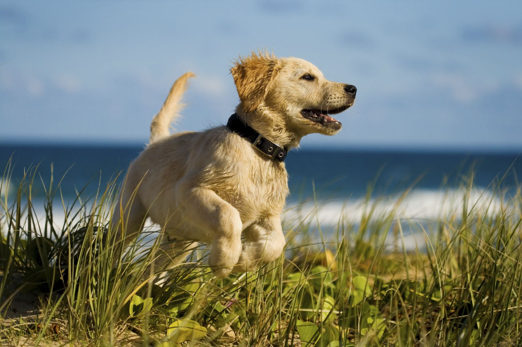 Keep Your Pet Safe by Micro Chipping! Retriever puppy