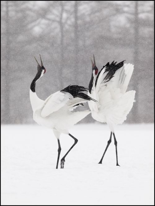 they paint them because they have to...     Japanese cranes by Dennis Binda