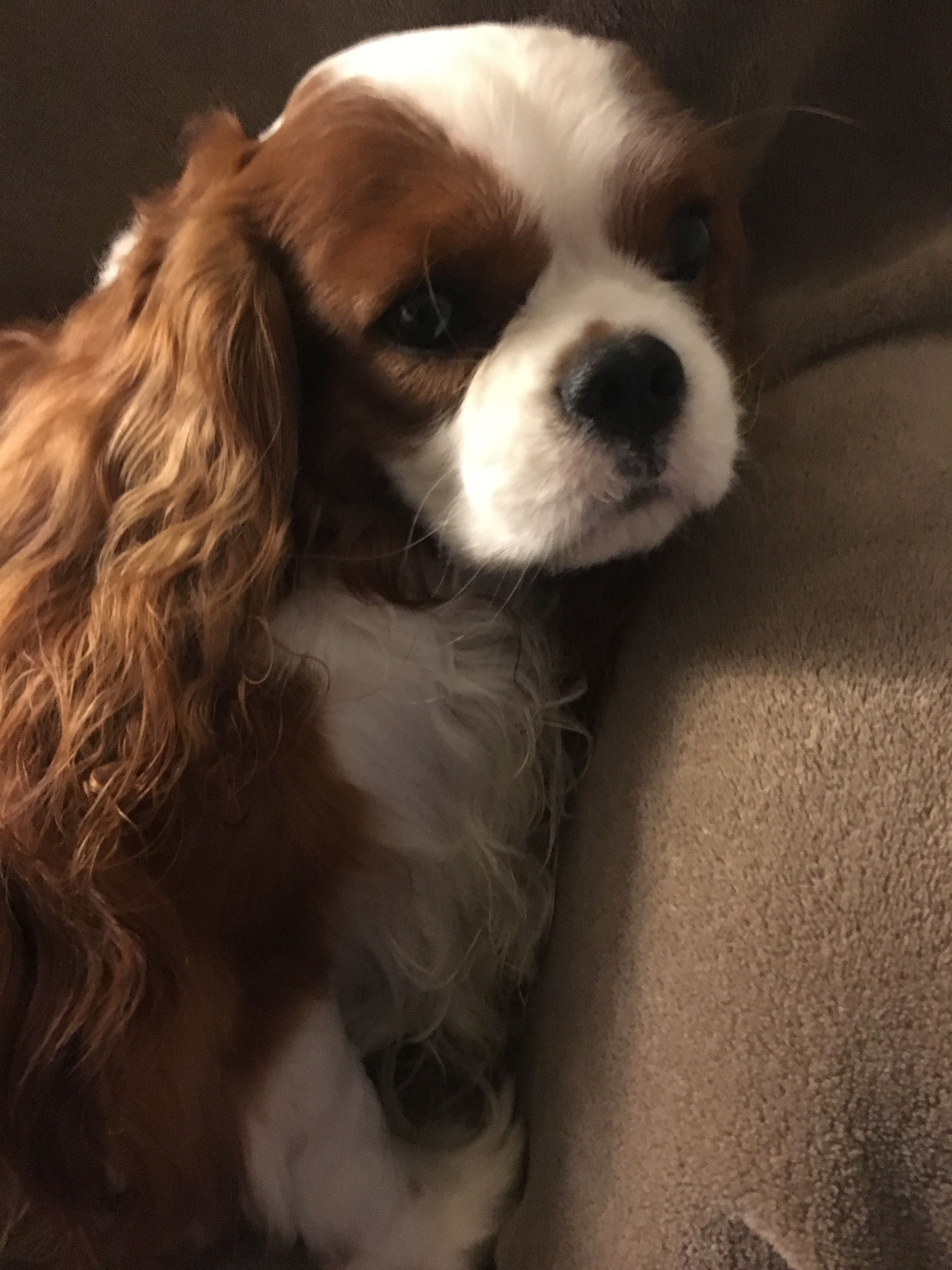 Pin By Tina Phillips On Cavalier King Charles Spaniels Cavalier King Charles Dog King Charles Dog Cavalier King Charles