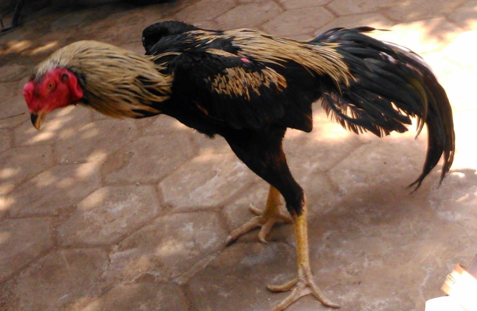 55+ Gambar Ayam Tolaki Terbaik