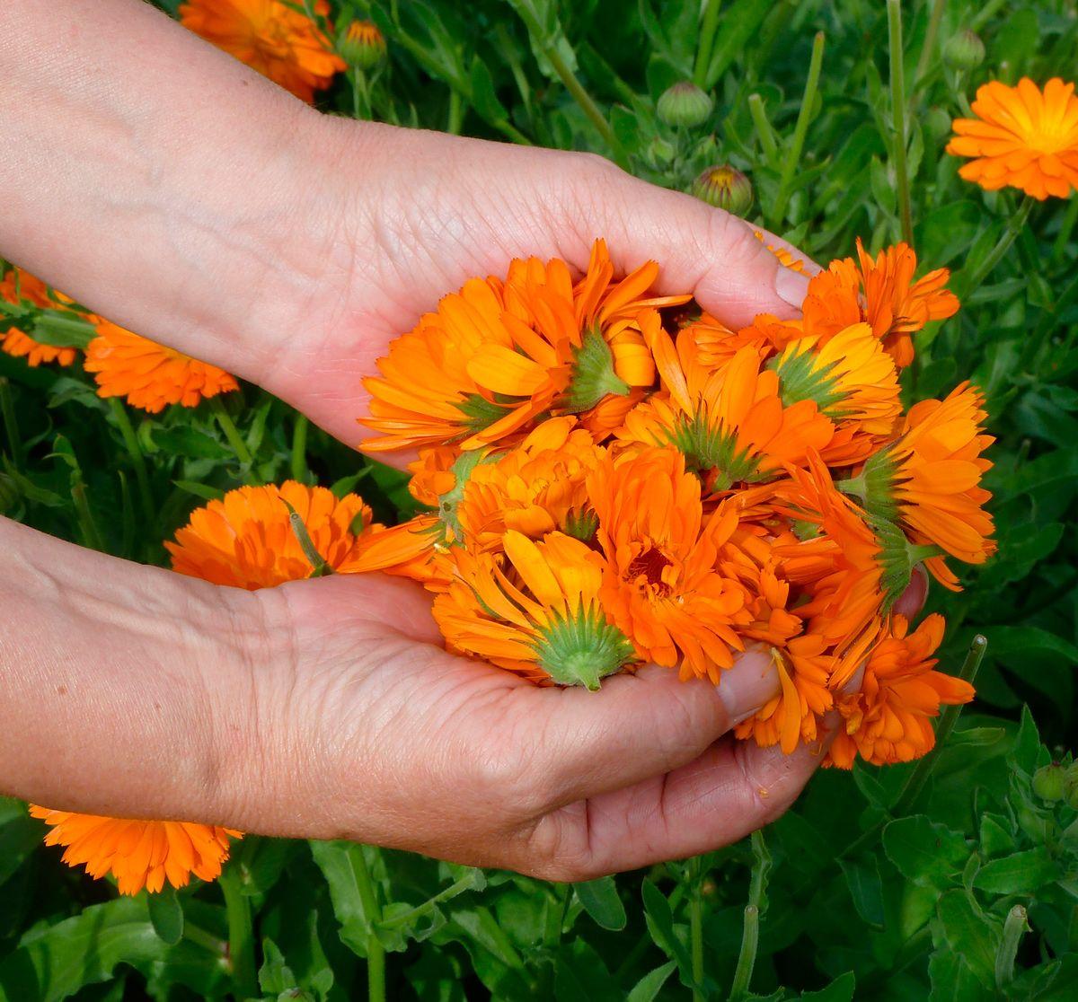Calendula flowers Natural cosmetics, Calendula, Plants