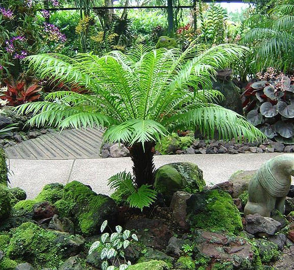 Blechnum gibbum Ferns garden, Shade plants, Plants