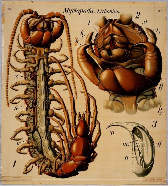 Myriopoda (or Myriapoda), \'many-legged ones\', is a sub-phylum of ...