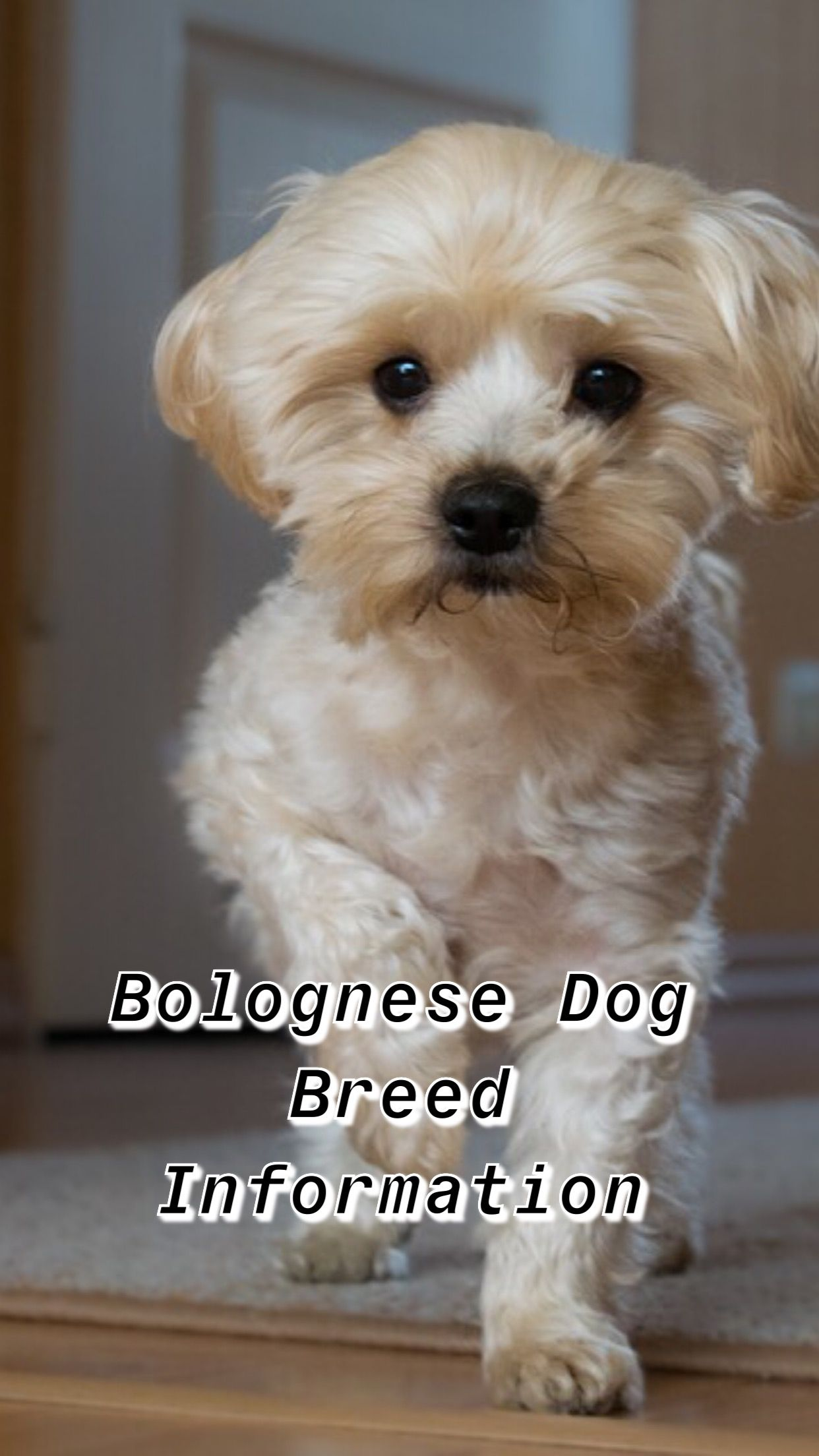Bolognese Dog Breed Information Dog Breeds Dogs