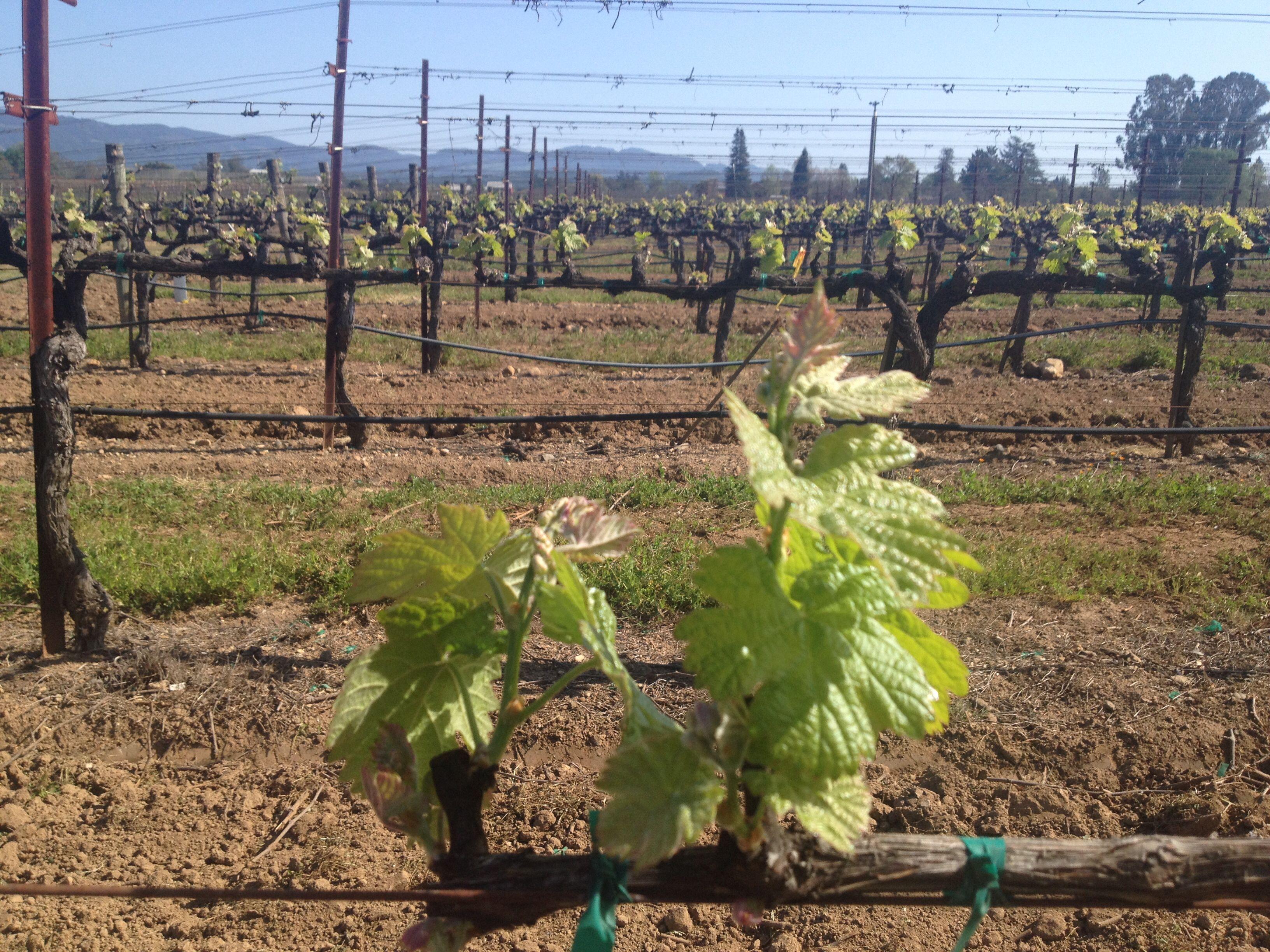 Andretti Vineyard in Napa Valley #california