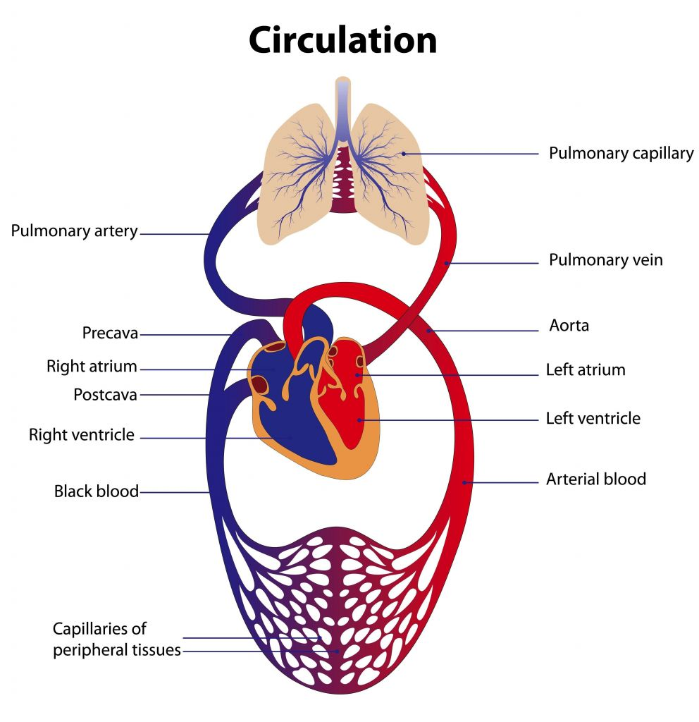 the human circulatory system Blood is pumped away from the heart at high pressure in arteries, and returns to the heart at low pressure in veins the human circulatory system is a double circulatory system.