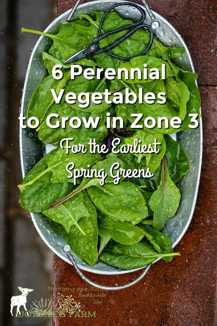6 Perennial Vegetables to Grow in Zone 3 For the Earliest Spring Greens is part of Growing vegetables, Perennial vegetables, Home vegetable garden, Perennials, Organic vegetable garden, Perennial herbs - Grow these easy perennial vegetables to have fresh greens early in spring, even if you live in zone 3  Sea Kale, Dock, Good King Henry, Bloody Dock