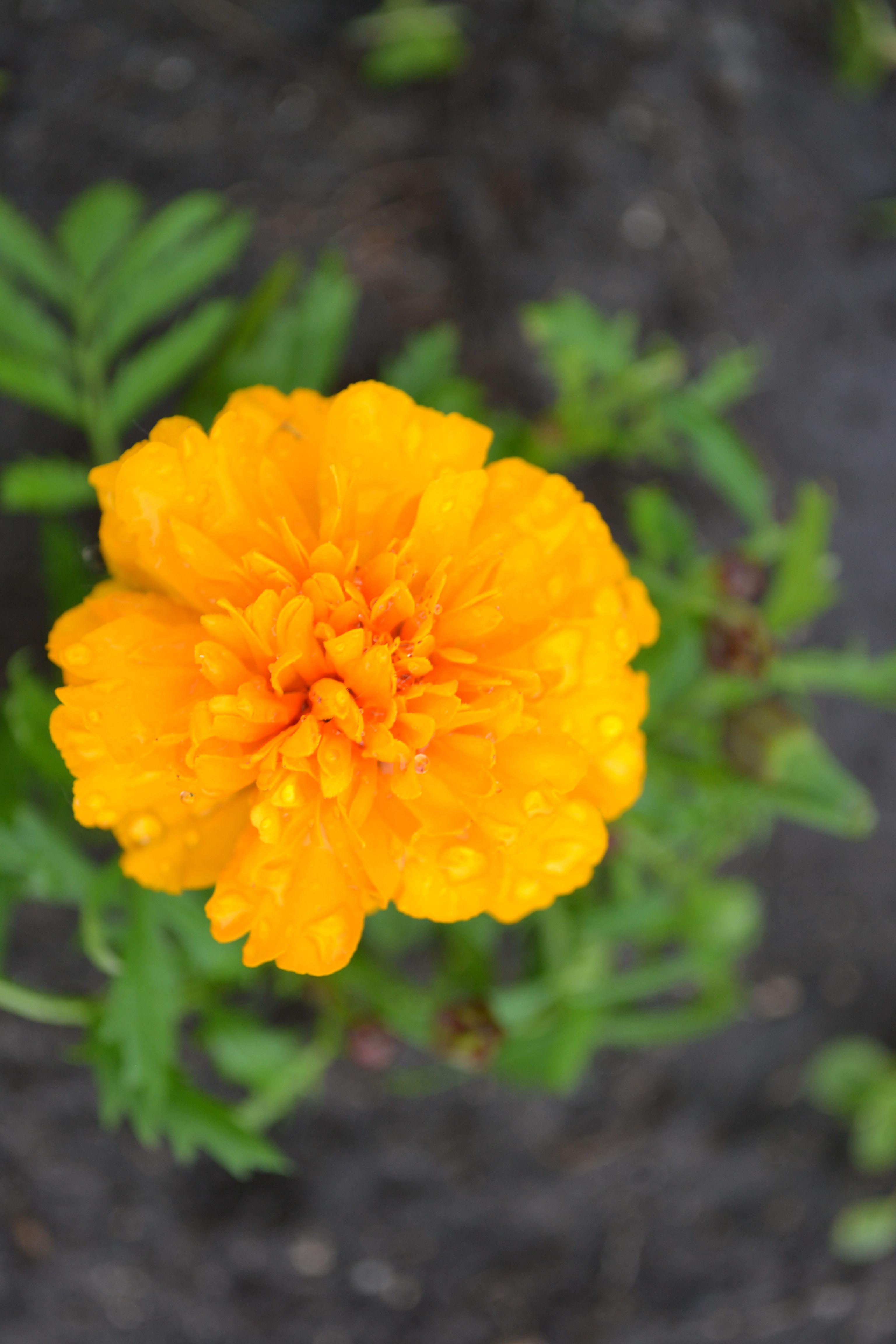 Kwiat Aksamitka Marigold Flower Marigold Flower Flowers Plants