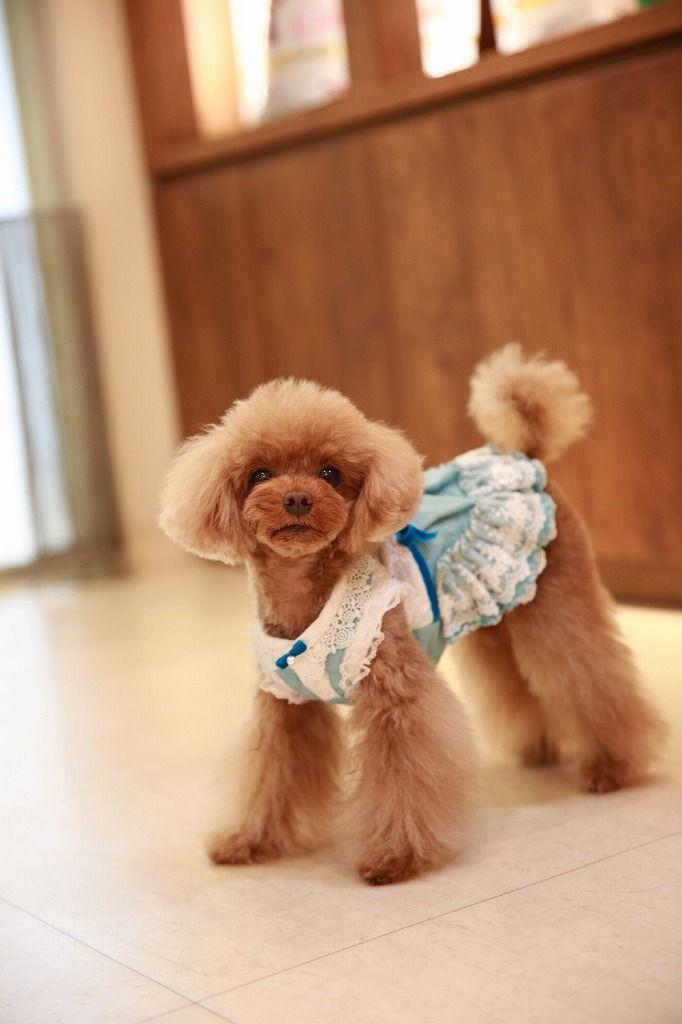 Good Morning Toypoodle Cute Girl Happy Morning Tgif プードルカット トイプードル プードルのグルーミング