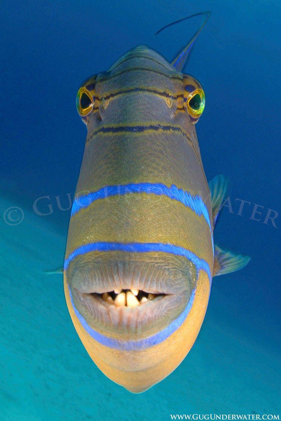 queen triggerfish attack gug underwater beach art pinterest
