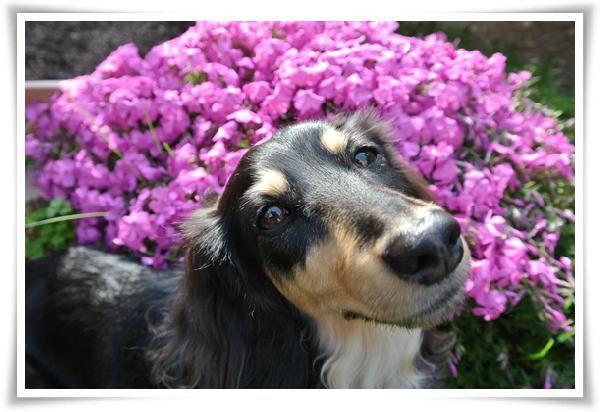 満開の芝桜 投稿者:yamamiさん