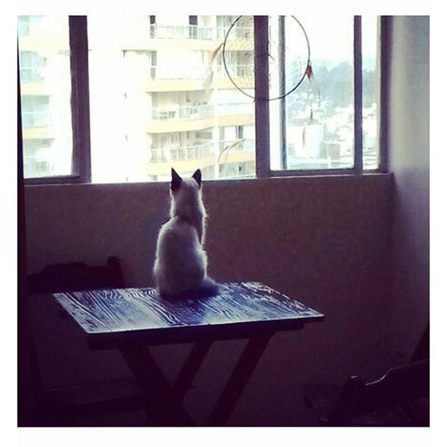 raycs_/2016/10/06 05:25:53/Olhando pro nada pensando em tudo... #gatinhobrisado #gatinhobranco #siames #gatinhofofo #alexturner