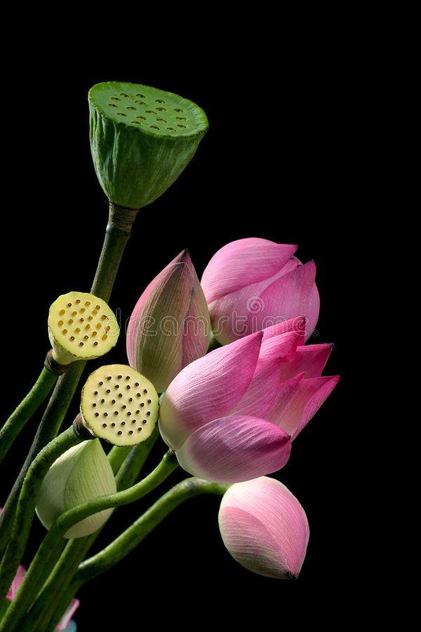 Lotus and rattan stock photo. Image of lotus, aquatic - 2184262